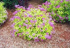 Goldmound Spirea (Spiraea japonica 'Goldmound') at Begick Nursery