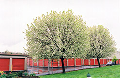Bradford Ornamental Pear (Pyrus calleryana 'Bradford') at Begick Nursery