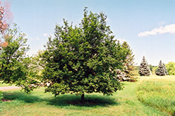 Hop Hornbeam (Ostrya virginiana) at Begick Nursery