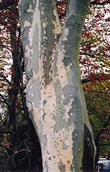 London Planetree (Platanus x acerifolia) at Begick Nursery