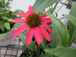 Glowing Dream™ Coneflower (Echinacea 'Glowing Dream') at Begick Nursery