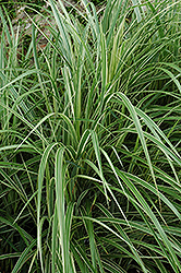 Variegated Silver Grass (Miscanthus sinensis 'Variegatus') at Begick Nursery