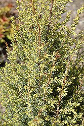 Gold Cone Juniper (Juniperus communis 'Gold Cone') at Begick Nursery