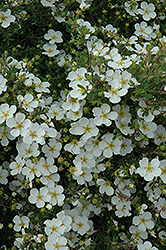 Abbottswood Potentilla (Potentilla fruticosa 'Abbottswood') at Begick Nursery