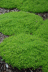 Irish Moss (Sagina subulata) at Begick Nursery