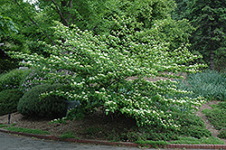 Pagoda Dogwood (Cornus alternifolia) at Begick Nursery