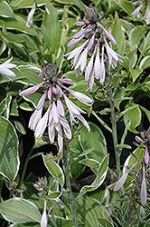 Francee Hosta (Hosta 'Francee') at Begick Nursery