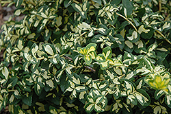Moonshadow Wintercreeper (Euonymus fortunei 'Moonshadow') at Begick Nursery