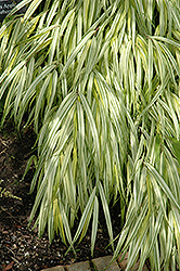 Golden Variegated Hakone Grass (Hakonechloa macra 'Aureola') at Begick Nursery