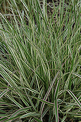 Variegated Reed Grass (Calamagrostis x acutiflora 'Overdam') at Begick Nursery