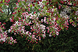 Calocarpa Zumi Flowering Crab (Malus x zumi 'Calocarpa') at Begick Nursery