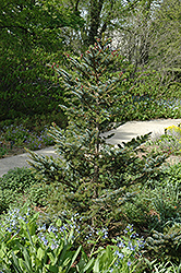 Howell's Dwarf Tigertail Spruce (Picea bicolor 'Howell's Dwarf Tigertail') at Begick Nursery