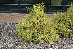Sungold Falsecypress (Chamaecyparis pisifera 'Sungold') at Begick Nursery