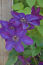 The President Clematis (Clematis 'The President') at Begick Nursery
