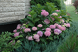 Endless Summer® Hydrangea (Hydrangea macrophylla 'Endless Summer') at Begick Nursery