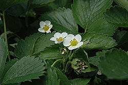 Everbearing Strawberry (Fragaria 'Everbearing') at Begick Nursery