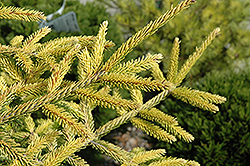 Skylands Golden Spruce (Picea orientalis 'Skylands') at Begick Nursery