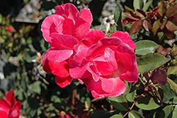 Pink Knock Out® Rose (Rosa 'Radcon') at Begick Nursery