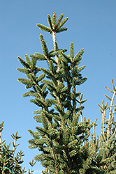 Columnar Norway Spruce (Picea abies 'Cupressina') at Begick Nursery