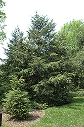 Canadian Hemlock (Tsuga canadensis) at Begick Nursery