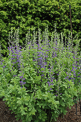 Blue Wild Indigo (Baptisia australis) at Begick Nursery