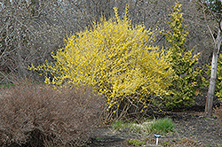 Northern Gold Forsythia (Forsythia 'Northern Gold') at Begick Nursery
