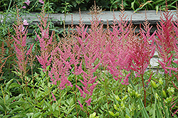 Visions in Pink Chinese Astilbe (Astilbe chinensis 'Visions in Pink') at Begick Nursery