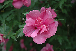 Lucy Rose Of Sharon (Hibiscus syriacus 'Lucy') at Begick Nursery