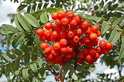 Cardinal Royal Mountain Ash (Sorbus aucuparia 'Cardinal Royal') at Begick Nursery