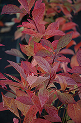 Little Henry® Virginia Sweetspire (Itea virginica 'Sprich') at Begick Nursery