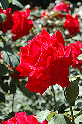 Chrysler Imperial Rose (Rosa 'Chrysler Imperial') at Begick Nursery
