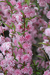 Double Pink Flowering Almond (Prunus glandulosa 'Rosea Plena') at Begick Nursery