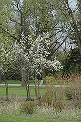 Toka Plum (Prunus 'Toka') at Begick Nursery