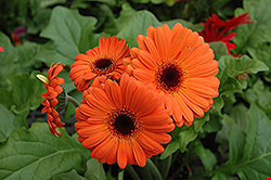 Orange Gerbera Daisy (Gerbera 'Orange') at Begick Nursery