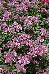 Compact Pink Innocence Nemesia (Nemesia 'Compact Pink Innocence') at Begick Nursery