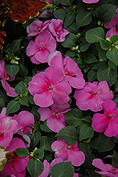 Super Elfin® Lavender Impatiens (Impatiens walleriana 'Super Elfin Lavender') at Begick Nursery