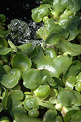 Water Hyacinth (Eichhornia crassipes) at Begick Nursery