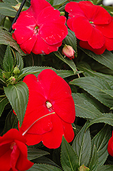 Sonic® Red New Guinea Impatiens (Impatiens 'Sonic Red') at Begick Nursery