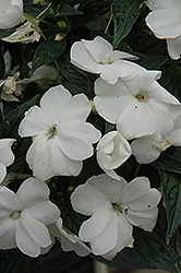 Sonic® White New Guinea Impatiens (Impatiens 'Sonic White') at Begick Nursery