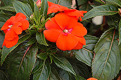 Sonic® Orange New Guinea Impatiens (Impatiens 'Sonic Orange') at Begick Nursery