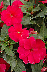 Sonic® Burgundy New Guinea Impatiens (Impatiens 'Sonic Burgundy') at Begick Nursery