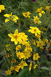 Goldilocks Rocks Bidens (Bidens ferulifolia 'Goldilocks Rocks') at Begick Nursery