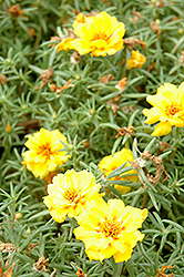 Tequila Yellow Portulaca (Portulaca grandiflora 'Tequila Yellow') at Begick Nursery