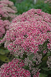 Mr. Goodbud Stonecrop (Sedum 'Mr. Goodbud') at Begick Nursery