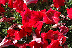 Supertunia® Red Petunia (Petunia 'Supertunia Red') at Begick Nursery