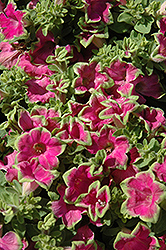 Supertunia® Picasso In Pink Petunia (Petunia 'Supertunia Picasso In Pink') at Begick Nursery