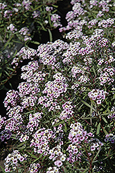 Blushing Princess Sweet Alyssum (Lobularia 'Blushing Princess') at Begick Nursery