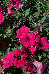 Supertunia Vista® Fuchsia Petunia (Petunia 'Supertunia Vista Fuchsia') at Begick Nursery