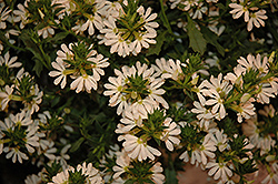 Whirlwind® White Fan Flower (Scaevola aemula 'Whirlwind White') at Begick Nursery
