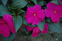 Sonic® Lilac New Guinea Impatiens (Impatiens 'Sonic Lilac') at Begick Nursery